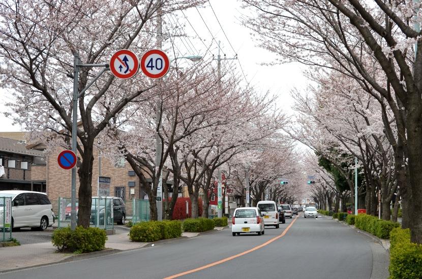 桜 in 2012 at 多摩川沿い、西河原自然公園