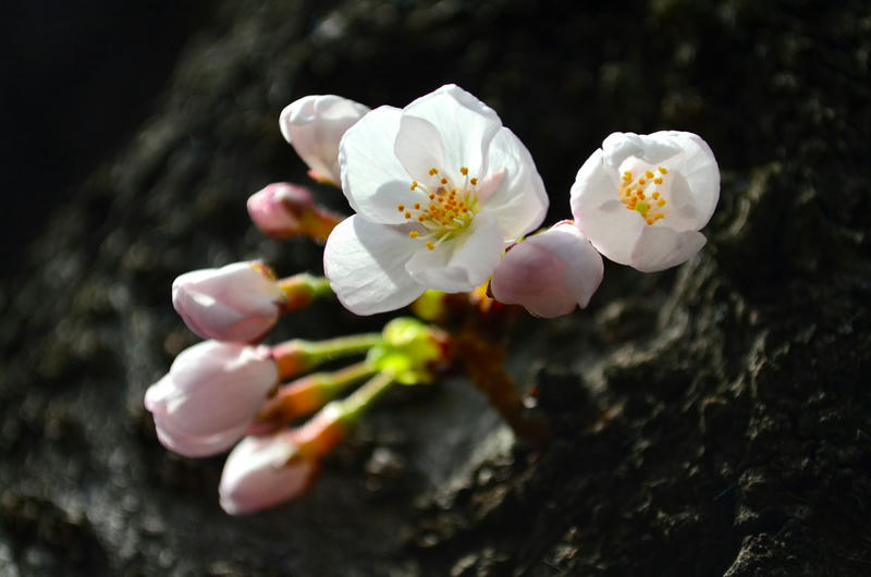 桜 in 2014 at 神田川沿い、小石川後楽園