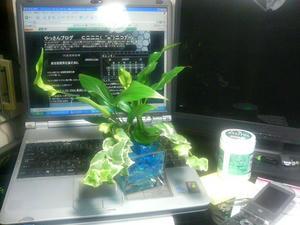 新しい仲間の観葉植物