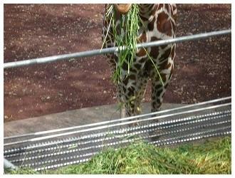 草を食むキリン