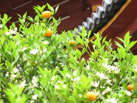 右近の橘の実