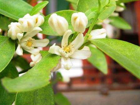 右近の橘の花
