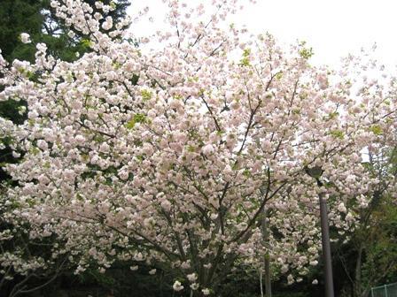 奈良公園の桜