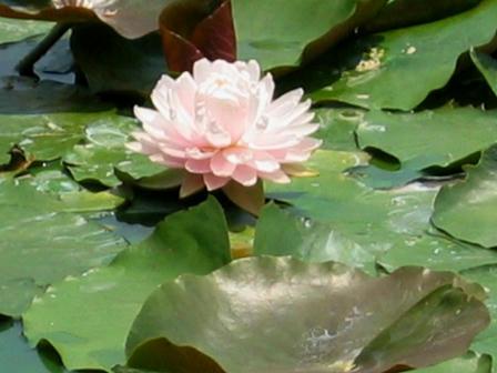 深田池の睡蓮
