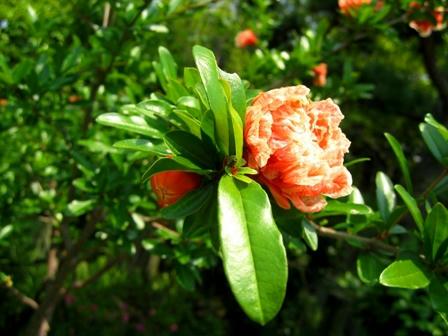 久米寺のザクロの花