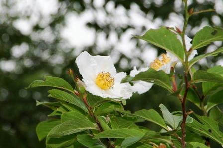 沙羅(しゃら)の花