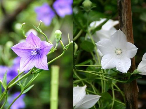 春日神苑のキキョウ