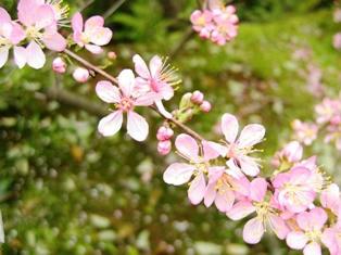 依水園の桜