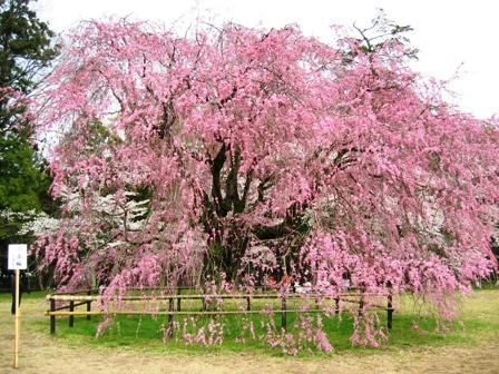 上賀茂神社のしだれ桜