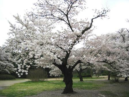 京都植物園の桜