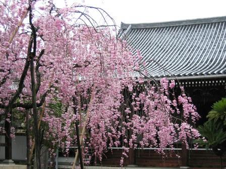 浄教寺のしだれ桜