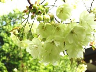 仁和寺の鬱金桜