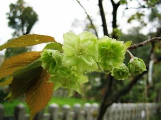 平野神社の御衣黄桜