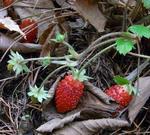 091113strawberry2.jpg
