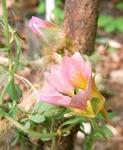 100605sessilifolium.jpg