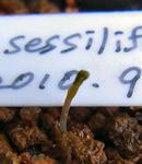 101101sessilifolium.jpg