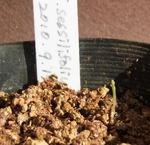 110116sessilifolium.jpg