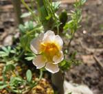 120506sessilifolium.jpg