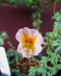 130408sessilifolium.jpg