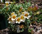 130428sessilifolium.jpg