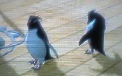 デッキにイワトビペンギンの訪問