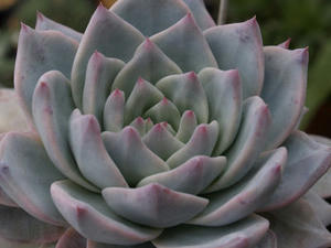 echeveria_cv_blue_bird_100314_01.JPG