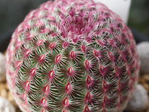 echinocereus_rigidissimus_var_rubispinus_120812_01.jpg