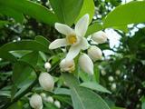 柚子の花が開花