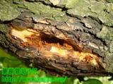 カミキリムシ幼虫退治