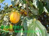 西条柿が収穫時期です
