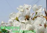 ミツバチの受粉写真