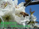 ミツバチ写真