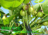 梨の摘果写真