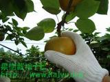 梨 収穫写真