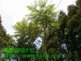たらの木写真