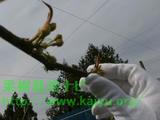 梨の摘蕾(テキライ)