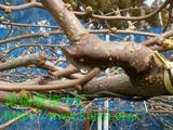 キウイの樹液