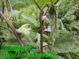 ナス茎の害虫駆除