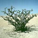 フランキンセンスの木