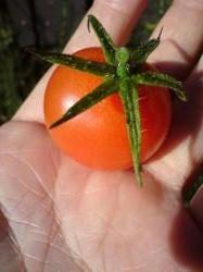庭でとれたプチトマト
