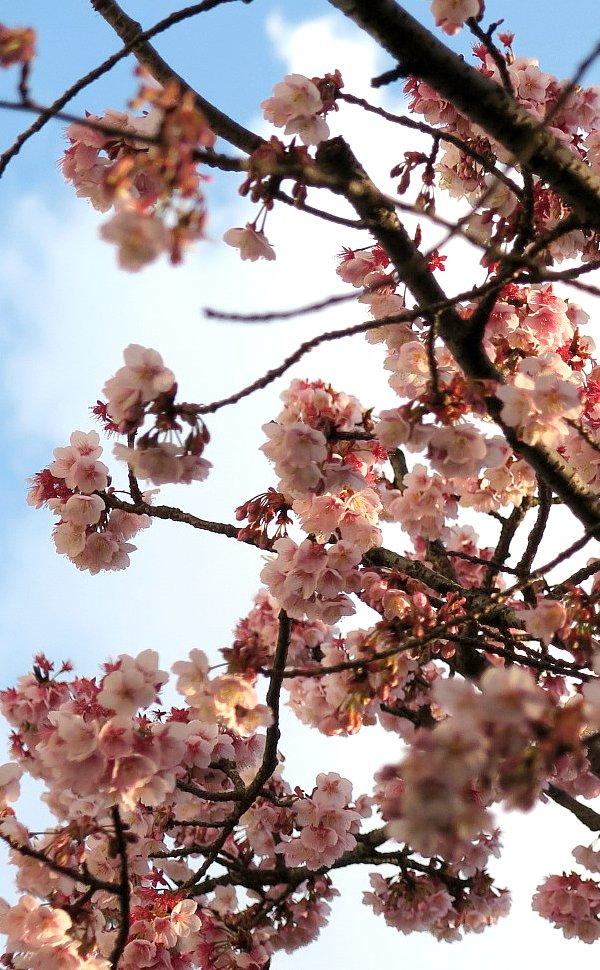 早咲き桜2016年