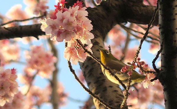 早咲き桜とメジロ