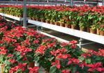 広ーい温室一杯に咲く見事な赤いポインセチア