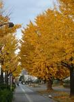 銀杏並木が綺麗