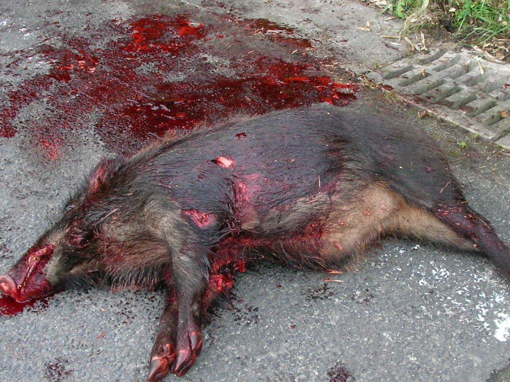 大寺出猟日記 猪と猪犬