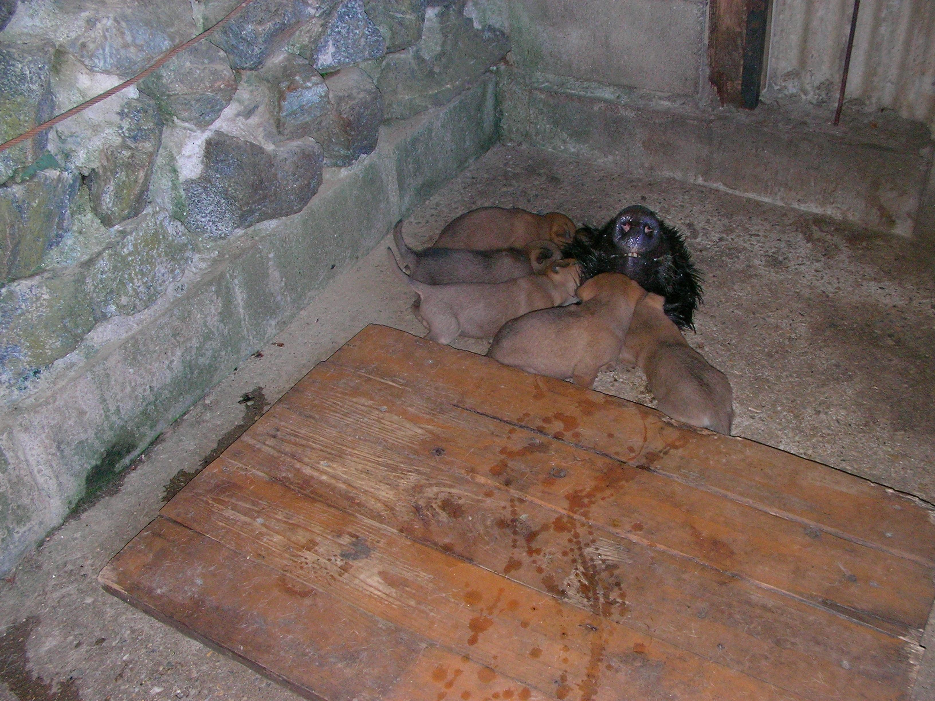 大寺出猟日記 猪犬の