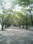 府中の並木道