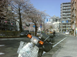 cub_sakura1004.jpg