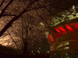 埼スタ桜満開