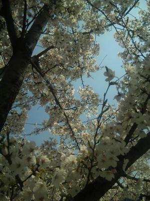 ヴィソラ_桜2
